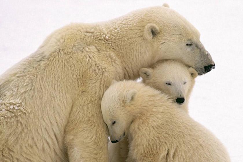 کجا خرس قطبی ببینیم؟