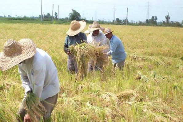 تأثیر سالخوردگی نیروی کار بر شرایط کشاورزی