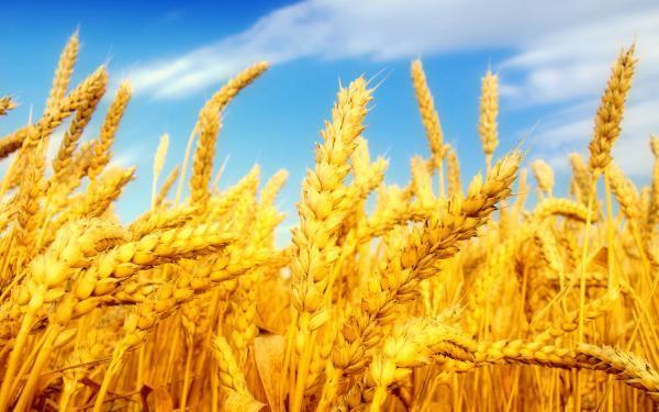 استقبال کشاورزان و شرکت های ماکارونی ازکشت قراردادی گندم در شهرستان ارزوئیه